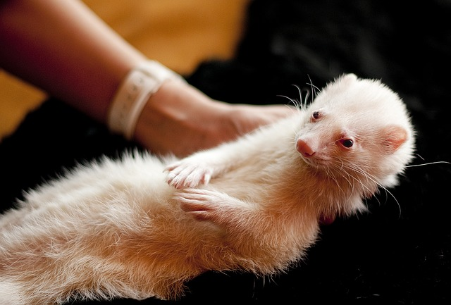 train-your-ferret-pet-with-these-two-amazing-tricks-a