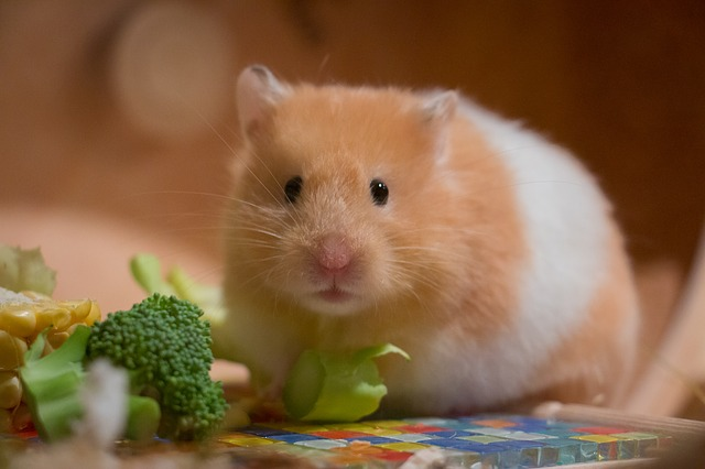 what-food-is-best-for-my-hamster-f